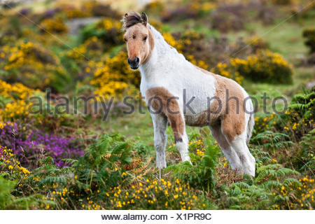 Dartmoor Hill Highland Pony, brown white pied, foals, blooming heather, moorland, Dartmoor National Park, Devon, United Kingdom - Stock Photo