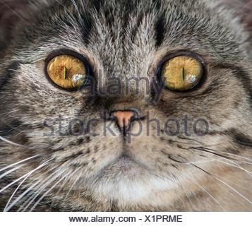 Close -up of cat face. British Shorthair that is looking at camera with attitude. - Stock Photo