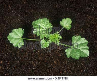 Dwarf mallow Malva neglecta young plant - Stock Photo