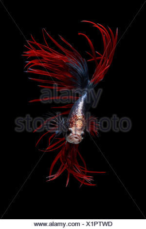 Portrait of a betta fish - Stock Photo