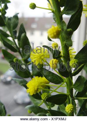 Kangaroo thorn, Prickly Wattle, Paradox Acacia (Acacia paradoxa, Acacia armata), blooming on a windowsill - Stock Photo