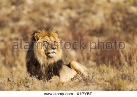 Black-maned Lion (Panthera leo vernayi), male, resting, Kalahari Desert, Kgalagadi Transfrontier Park, South Africa - Stock Photo