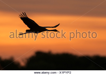 crane at sky, grus grus, germany - Stock Photo