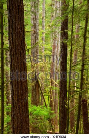 Ancient forest along Harris Ranch Trail, Drift Creek Wilderness, Siuslaw National Forest, Oregon. - Stock Photo