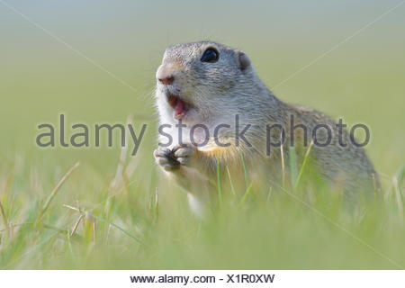 European ground squirrel (Spermophilus citellus), animal portrait, Vienna area, Austria - Stock Photo