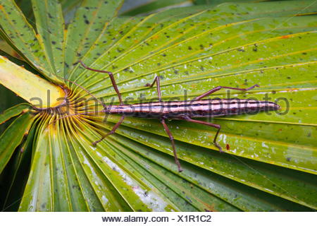 A two striped walking stick insect, Anisomorpha buprestoide. - Stock Photo