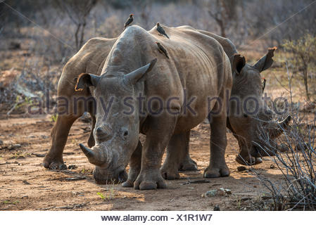 White rhino (Ceratotherium simum) with Red-billed hackers (Buphagus erythrorhynchus) on the back, Madikwe Game Reserve - Stock Photo