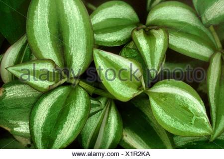 Wandering Jew (Zebrina pendula, Tradescantia zebrina), cultivar Quadricolor - Stock Photo