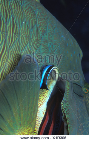 Cleaner Wrasse cleans Gills of Napoleon Wrasse, Labroides dimidiatus, Cheilinus undulatus, Ras Mohammed, Sinai, Red Sea, Egypt - Stock Photo