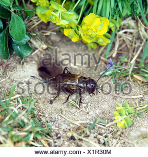 zoology / animals, insect, locusts, Field cricket, (Gryllus campestris), female locust in front of ground hole, close-up, distri - Stock Photo