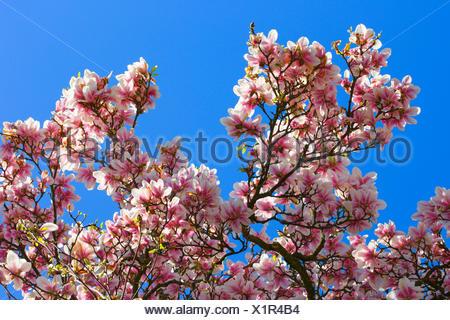 Tulpen-Magnolie, Tulpenmagnolie, Garten-Magnolie, Gartenmagnolie (Magnolia x soulangiana, Magnolia soulangiana, Magnolia x soula - Stock Photo