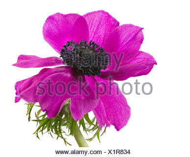 Isolated purple anemone flower blossom - Stock Photo