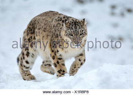 Snow Leopard (Panthera uncia), male in the snow, captive, Switzerland - Stock Photo