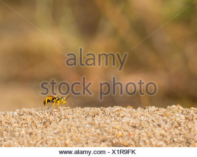 digger wasp (Dinetus pictus), Male is waiting in his territory on a female, Germany - Stock Photo