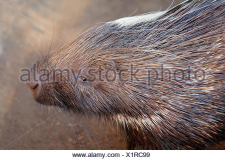 face, portrait, rodent, porcupine, spines, head, animal, mammal, wild, africa, - Stock Photo