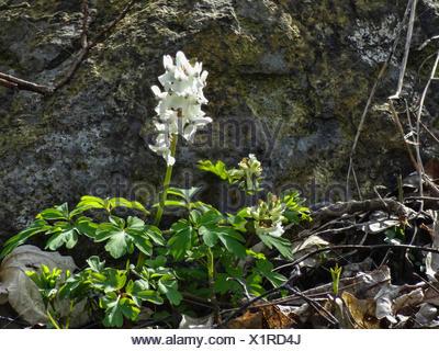 bulbous corydalis, fumewort (Corydalis cava), blooming in white, Germany, Hesse, Gudensberg - Stock Photo