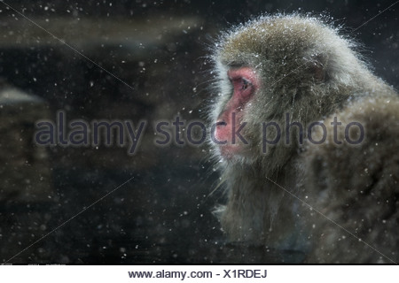 Snow monkey Jigokudani National Park Japan - Stock Photo