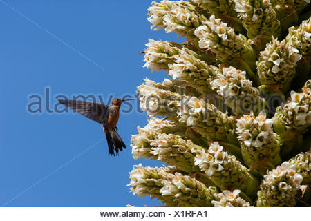 Giant humming bird (Patagona gigas) feeding from Queen of the Andes (Puya raymondii) flowers,  Cordillera Blanca Massif, Andes, Peru, November. - Stock Photo