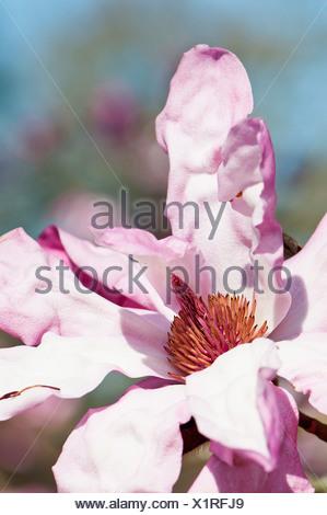 Pink, single flower blossom of Magnolia sprengeri var. diva 'Eric Savill' with ruffled petals in sunlight. - Stock Photo
