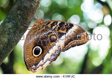 Forest giant owl (Caligo eurilochus), captive - Stock Photo