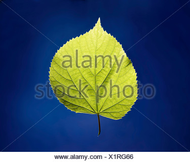 A green leaf on a blue surface - Stock Photo