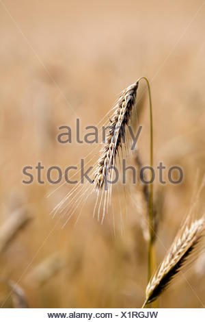 rye - secale cereale - ear - Stock Photo