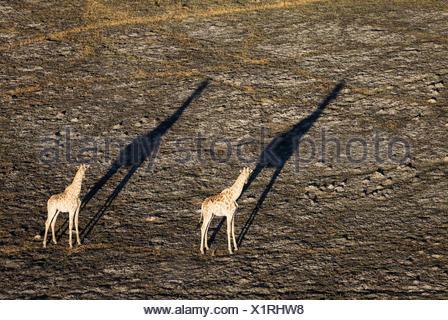 Southern Giraffe (Giraffa camelopardalis giraffa), two males in the late evening, aerial view - Stock Photo