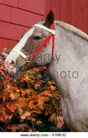 STRAWBERRY ROAN WORK HORSE / NEW YORK - Stock Photo