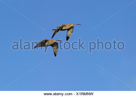 western curlew (Numenius arquata), two birds flying, Germany, North Rhine-Westphalia - Stock Photo