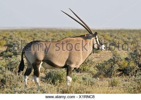 Gemsbok, Gemsbuck (Oryx gazella) in Etosha National Park, Africa, Namibia - Stock Photo