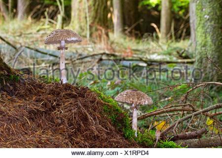 Shaggy parasol (Chlorophyllum rachodes, Macrolepiota rachodes, Chlorophyllum racodes, Macrolepiota racodes), three fruiting bodies in moss on forest floor, Germany, Mecklenburg-Western Pomerania, Farenholzer Holz - Stock Photo