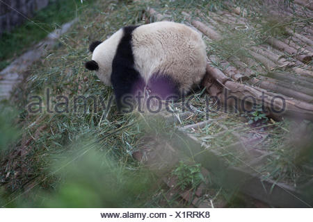 Side View Of A Panda - Stock Photo