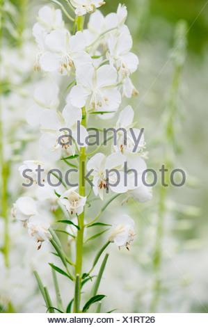 White-flowered rosebay willowherb, Chamaenerion angustifolium 'Album'. - Stock Photo