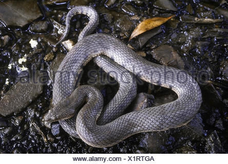 Cerberus rhynchops DOG-FACED WATER SNAKE. Shows adult about to moult. Photographed near Mumbai (Bombay) Maharashtra, INDIA. - Stock Photo