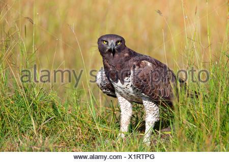 martial eagle (Polemaetus bellicosus, Hieraaetus bellicosus), on the ground, Kenya, Masai Mara National Park - Stock Photo