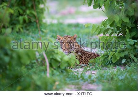 Botswana, Africa, leopard, Savuti, bushes, thicket, animal, - Stock Photo