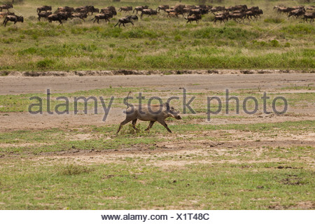 Warthog and Wildebeest Running in the Great Migration - Stock Photo