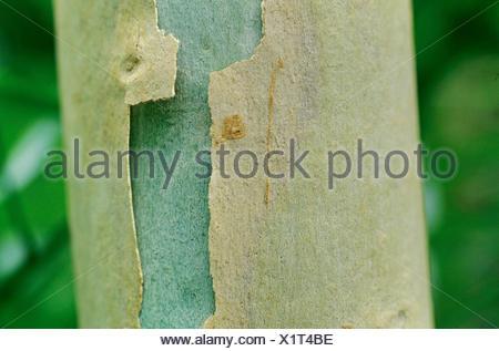 citron-scented gum (Eucalyptus citriodora), bark - Stock Photo