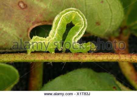Agriculture - Closeup of a Soybean looper (Pseudoplusia includens) larva on a cotton plant stem / Mississippi, USA. - Stock Photo