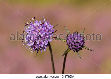 The flowers and buds of the Devil's-bit Scabious have a beautiful lila and blue-purple colour. - Stock Photo