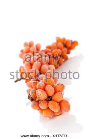Sea-bucktorn twig with frost on berries isolated on white background. Natrural antioxidant, alternative medicine concept. - Stock Photo