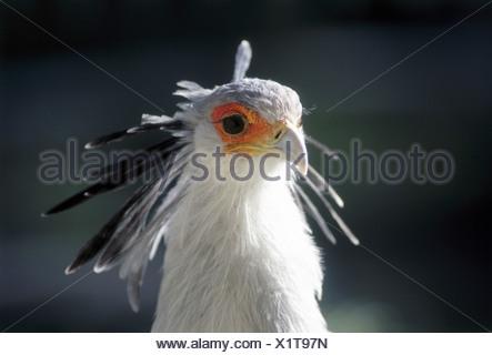 zoology / animals, avian / birds, Secretary Bird, (Sagittarius serpentarius), detail: head, distribution: Africa, animal, bird o - Stock Photo