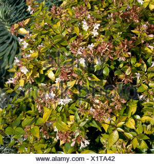 Abelia X Grandiflora Francis Mason Trs010972 Stock Photo
