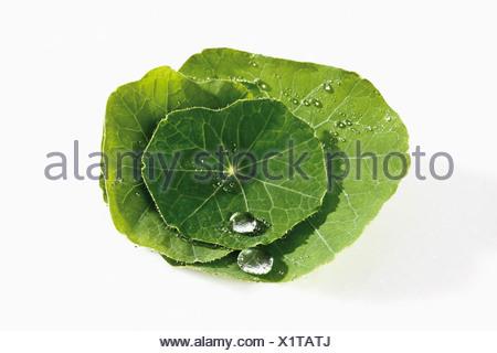 Water droplet on top of Nasturtium (Tropaeolum)  leaf - Stock Photo