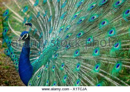 Animals, peacock, zoo Zurich, animals, animal, Zurich, zoo, Switzerland, Europe, - Stock Photo