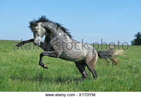 Lusitano stallion, meadow, run, rebel, - Stock Photo