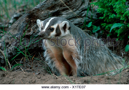 North American Badger / Silberdachs - Stock Photo