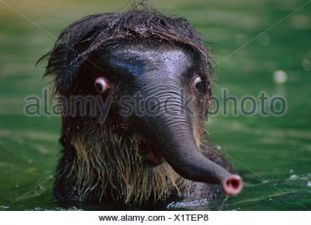 Baby Indian elephant in water looking shocked {Elephas maximus} Indian subcontinent - Stock Photo