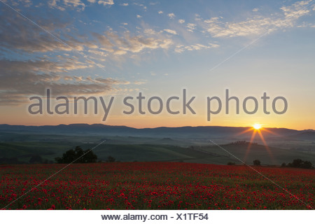 Italy, Tuscany, Crete, View of poppy field in front of farm with cypress trees at sunrise - Stock Photo