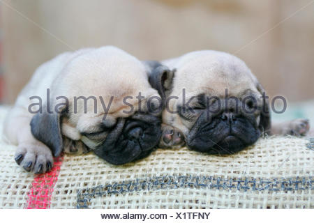 Pug. Two puppies sleeping on a sackcloth. Germany - Stock Photo